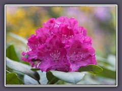 Rhododendronrosa