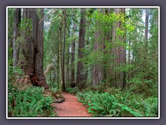 Redwoods im Redwood State Park