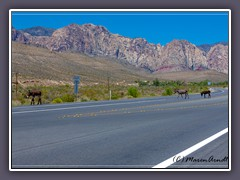 Die Wild Burros vom Red Rock Canyon