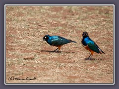 Superb Starling - Dreifarben Glanzstar