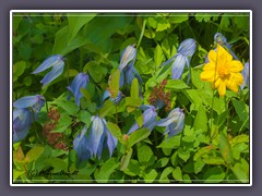 Blue Clematis - Clematis occidentalis