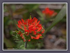Indian Paintbrush - Castilleja