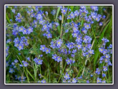 Mountain Forget me not - Myosotis-asiatica