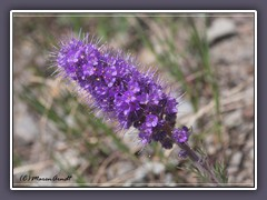 Purple Frings - Phacelia Sericea