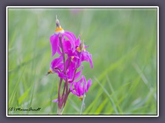 Shooting Star - Dodecatheon pulchellum