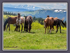Wilde Mustangs in Montana