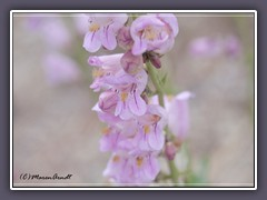 Penstemon Palmeri  - Palmer's Penstemon