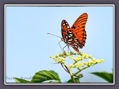 Gulf Fritillary or Passion Butterfly - Agraulis vanillae