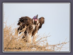Ohrengeier - Lappet Faced Vulture - Torgos tracheliotos