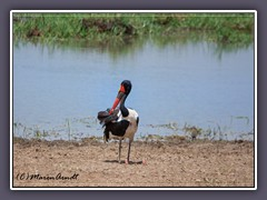 Sitzkultur - Sattelstorch - Saddle Billed Stork