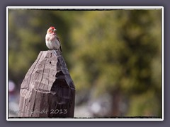 Cassins Finch - Carpodacus cassinii - Karmin Gimpel
