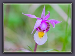 Fairy Slipper - Calypso bulbosa - seltene Orchidee im Yellowstone