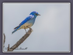Mountain Bluebird  - blue as blue can be