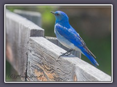 Mountain Bluebird - Männchen
