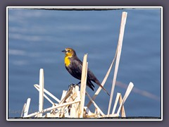 Mrs Yellow Headed Blackbird