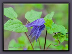 Rocky Mountain Clematis