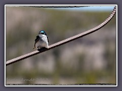 Sumpfschwalbe - Tree Swallow - Tachycineta bicolor