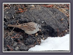 White crowned Sparrow - Zonotrichia leucophrys